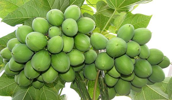 Jatropha-biofuel