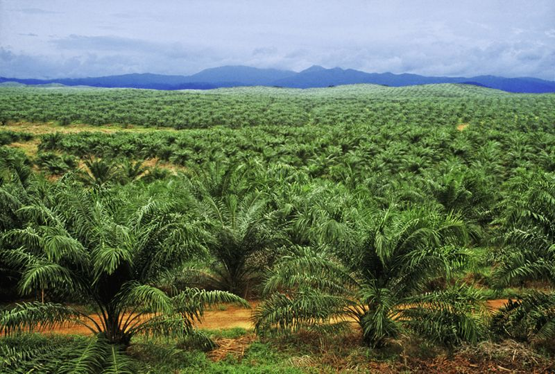 Image result for oil palm plantation