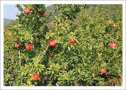 red-mangos