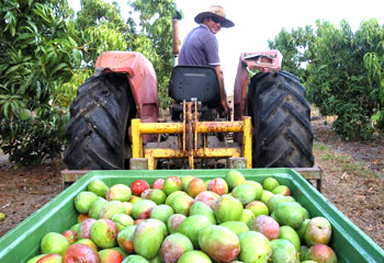 mango-farm-plantations-international