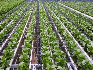 Plantations-International-Drip-Irrigation