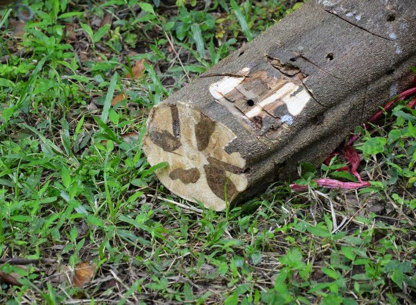 agarwood-cross-section