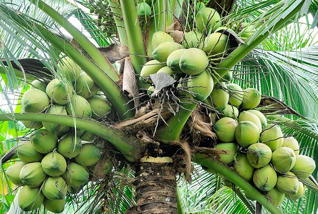 Coconut-Cultivation1