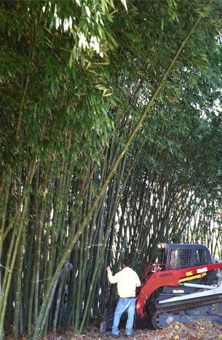 Plantations International Bamboo