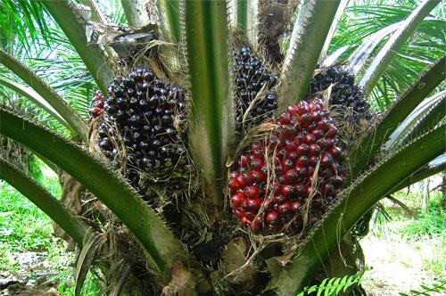 palm-oil-5