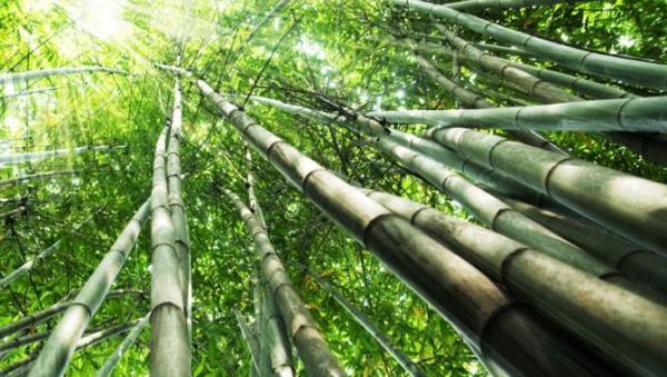 plantations-international-bamboo