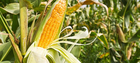 Maize_Field_Corn_550x250